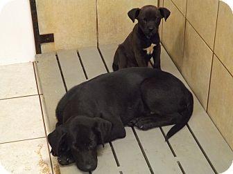Labradoodle Mix Puppy for adoption in Thomaston, Georgia - Mario & Luigi
