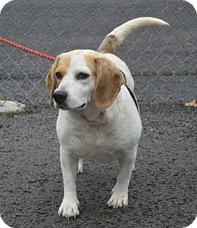 Beagle Dog for adoption in Morgantown, West Virginia - Dolly