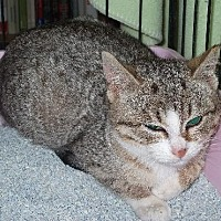 Adopt A Pet :: Olivia - Centreville, VA