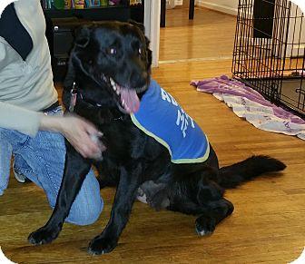 Shepherd (Unknown Type)/Labrador Retriever Mix Dog for adoption in Toledo, Ohio - Lady