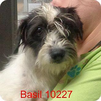 Jack Russell Terrier/Westie, West Highland White Terrier Mix Dog for adoption in Manassas, Virginia - Basil