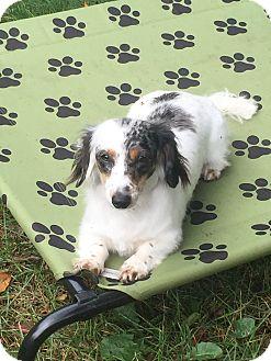 Dachshund Dog for adoption in Marcellus, Michigan - Daisy Mae
