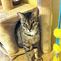 Domestic Mediumhair Cat for adoption in St. Cloud, Florida - Vana