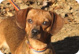 Dachshund Dog for adoption in Hagerstown, Maryland - Ruffles