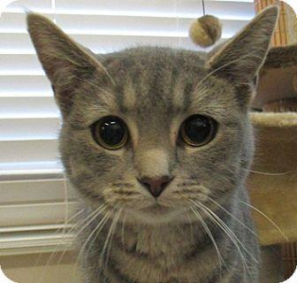 Domestic Shorthair Cat for adoption in Lloydminster, Alberta - Berlin