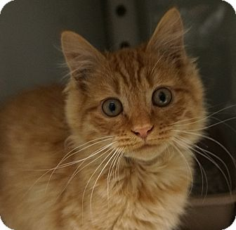 Domestic Mediumhair Cat for adoption in Farmington, New Mexico - Halen
