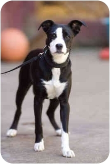 Boston Terrier Mix Dog for adoption in Portland, Oregon - Lizzy
