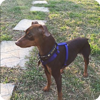 Miniature Pinscher Dog for adoption in McDonough, Georgia - Hunter (SEE VIDEO)