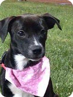 Labrador Retriever Mix Puppy for adoption in Marlton, New Jersey - Chloe