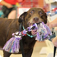 Labrador Retriever Dog for adoption in Phoenix, Arizona - Hershey