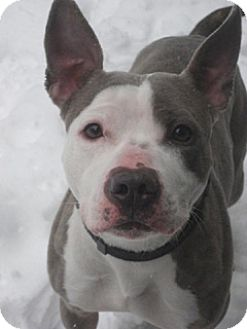 American Staffordshire Terrier Mix Dog for adoption in Montclair, New Jersey - Harmony