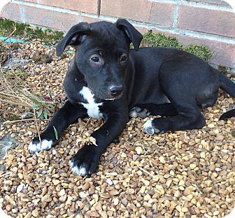 Labrador Retriever/American Pit Bull Terrier Mix Puppy for adoption in Chicago, Illinois - Tippy