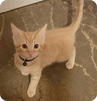 Domestic Shorthair Kitten for adoption in Irwin, Pennsylvania - Marmalaide and Buttetscotch