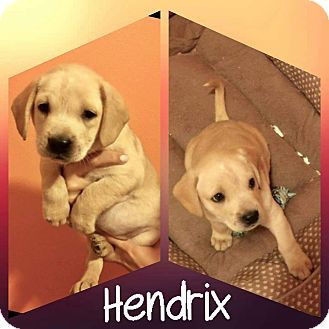 Golden Retriever Mix Puppy for adoption in Mesa, Arizona - Hendrix
