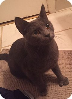 Russian Blue Cat for adoption in Livonia, Michigan - C9 Litter-Nala (Mom)-ADOPTED