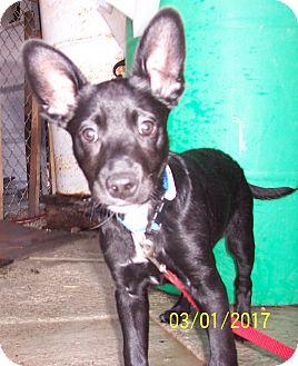 Labrador Retriever/Shepherd (Unknown Type) Mix Puppy for adoption in Perryville, Missouri - Radar