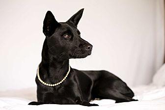 Retriever (Unknown Type)/Terrier (Unknown Type, Medium) Mix Dog for adoption in menlo park, California - Bobbie