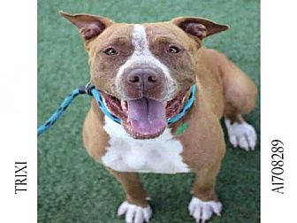 Pit Bull Terrier Dog for adoption in Los Angeles, California - TRIXI