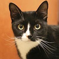 Adopt A Pet :: Mittens - Marlborough, MA