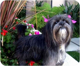 Lhasa Apso Mix Dog for adoption in Los Angeles, California - MONKEE & REGIS