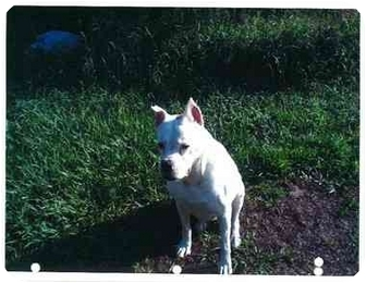 Boxer Dog for adoption in Boca Raton, Florida - Jade