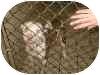 American Pit Bull Terrier Mix Dog for adoption in Minneapolis, Minnesota - bosco