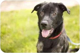 Labrador Retriever/Retriever (Unknown Type) Mix Dog for adoption in Bloomsburg, Pennsylvania - Hans
