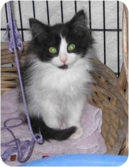 Domestic Longhair Kitten for adoption in Tampa, Florida - Hamlet