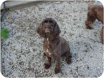 Cocker Spaniel Mix Dog for adoption in Mentor, Ohio - Milo 5yr Adopted