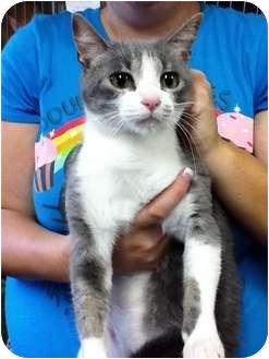 Domestic Shorthair Cat for adoption in Warren, Michigan - Dorothy
