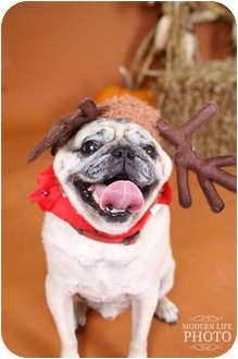 Pug Dog for adoption in Hinckley, Minnesota - Pugsley