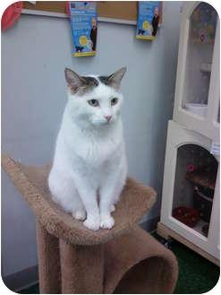 Domestic Shorthair Cat for adoption in Chandler, Arizona - Uma