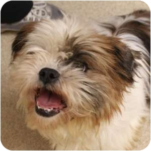 Lhasa Apso Mix Dog for adoption in Naperville, Illinois - Shirley