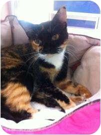 Calico Cat for adoption in Galveston, Texas - Jada