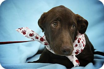 Labrador Retriever/Greyhound Mix Puppy for adoption in Broomfield, Colorado - Auburn