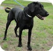 Labrador Retriever Mix Dog for adoption in Lewisville, Indiana - Bo