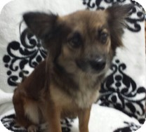 Papillon/Chihuahua Mix Dog for adoption in St. Petersburg, Florida - Boo