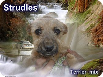 Terrier (Unknown Type, Small) Mix Dog for adoption in Desert Hot Springs, California - Strudles