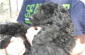 Goldendoodle/Poodle (Miniature) Mix Puppy for adoption in Antioch, Illinois - Brisbane ADOPTED!!