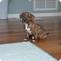 Adopt A Pet :: Lilly 8 weeks - Marlton, NJ