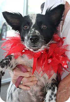 Corgi/Border Collie Mix Dog for adoption in Wichita Falls, Texas - Mimi