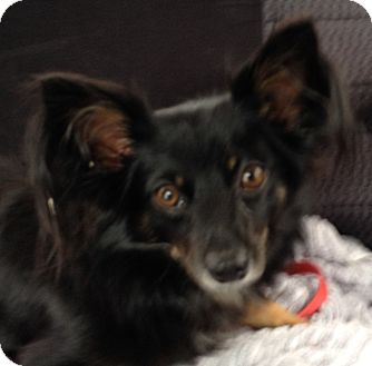 Papillon/Chihuahua Mix Dog for adoption in Orlando, Florida - Cody