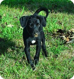 Labrador Retriever Mix Puppy for adoption in Naugatuck, Connecticut - Lorilei