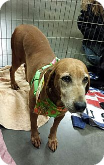 Redbone Coonhound Mix Dog for adoption in Alexis, North Carolina - Lady Red