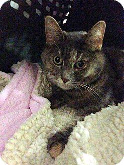Calico Cat for adoption in Rocklin, California - Mya