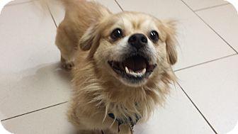 Tibetan Spaniel Mix Dog for adoption in Philadelphia, Pennsylvania - Haze