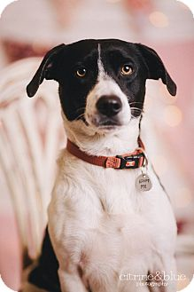 Corgi/Border Collie Mix Dog for adoption in Portland, Oregon - Ace