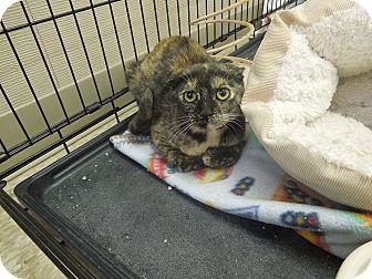 Domestic Shorthair Kitten for adoption in Medina, Ohio - Puff