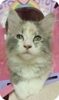 Calico Kitten for adoption in McHenry, Illinois - Melissa