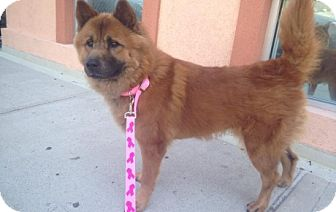 Chow Chow Dog for adoption in Brooklyn, New York - Ruby